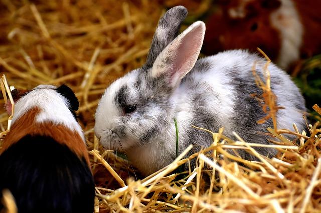 morče a králík