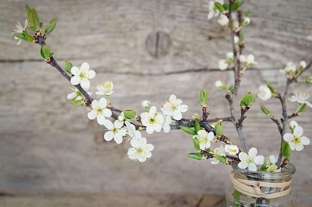 větvičky s bílými květy třešní